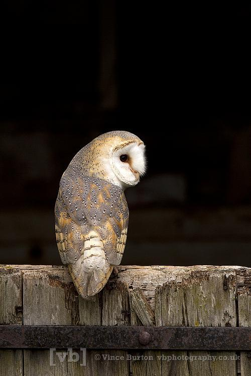 Barn Owl on door