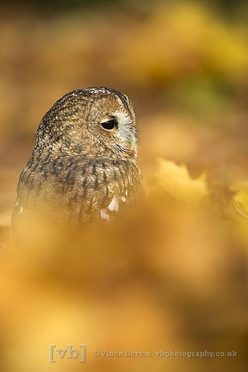 Tawny Owl in Autumn leaves