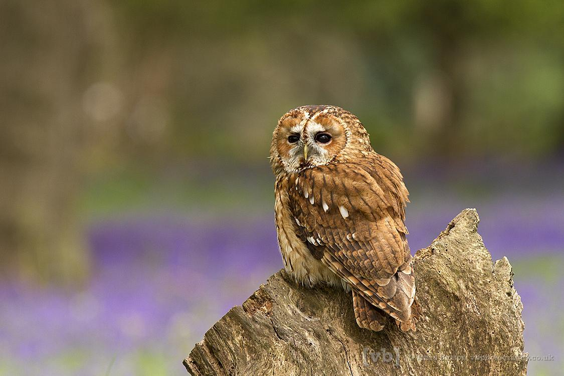 Tawny on tree stump